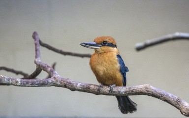 A Guam kingfisher perched on a tree branch with a gray sky in the background