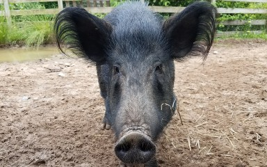 Pig with black coat, large ears and long snout
