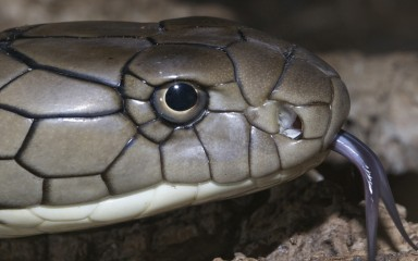 Closeup of scaly head with protruding purplish forked tongue. The pupil is black and circular and the iris is pale yellow.