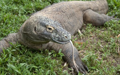 Resting lizard with its long pinkish, forked tongue visible. There are holes in its head for the ear and nasal cavity.