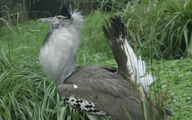 Kori bustard in grass with its blackish tail upraised