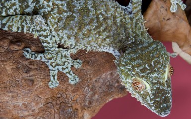 A close-up of a giant leaf-tailed gecko climbing over a rock against a pink background