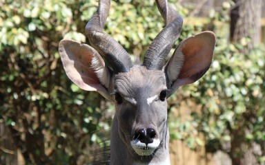 head closeup showing black eyes and nose, large ears, and the base of the spiral-shaped horns