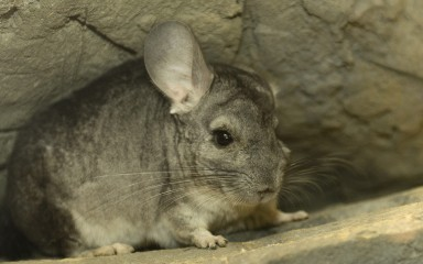 Front view showing the enormous rabbit-like ears