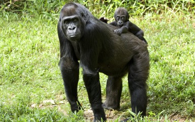 Mama gorilla standing on all fours with a baby clinging to her back