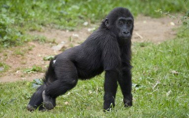 Baby gorilla standing in the grass on its long arms