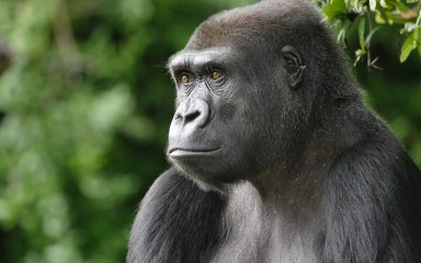 Western lowland gorilla staring out into the distance
