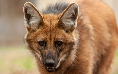 maned wolf closeup of face