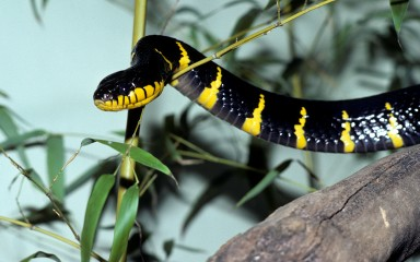 a black and yellow mangrove snake on a branch
