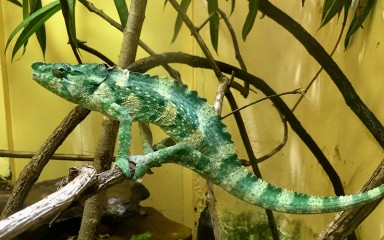 A Meller's chameleon perched on a branch in an exhibit at the Smithsonian's National Zoo's Reptile Discovery Center