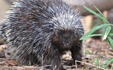 North American porcupine (small, dark colored animal with long white quills) standing on ground