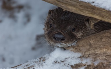 A North American river otter climbing over a snowy log