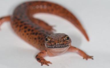 A northern red salamander