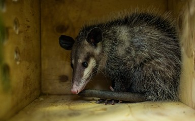 A common opossum sitting in a wooden box surrounded by greenery