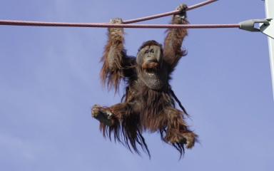 Orang swinging on a cable his long reddish fur blowing in the wind