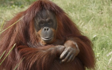 Large ape with long reddish fur sitting in the grass