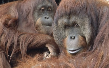 Two apes closeup with reddish-orange fur.