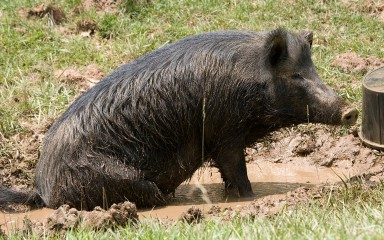 Blackish pig playing in the mud. Its wiry hair is dirty and it has a long snout with a flattened tip.