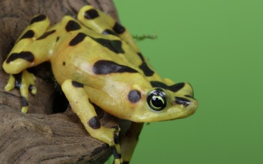 panamanian golden frog on branch