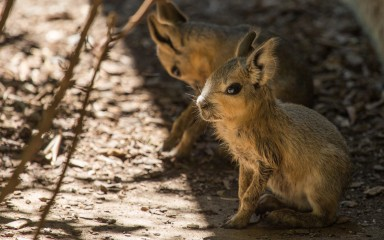 Two Patagonian mara babies standing on the ground
