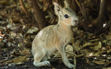 Patagonian mara baby standing on the ground
