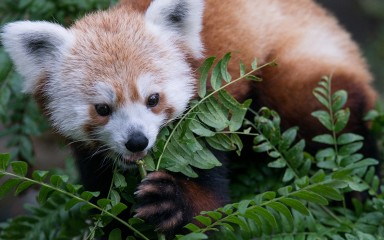 A red panda standing in a tree, using its front paw to hold a branch and eat leaves