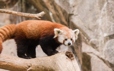 A red panda climbing on a branch with rock in the background