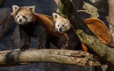 Red pandas Nutmeg and Jackie standing on a tree branch