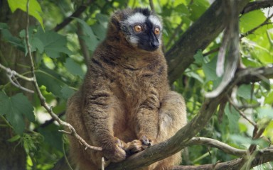 Yellow-eyed lemur sitting in tree. It has luxuriant fur.