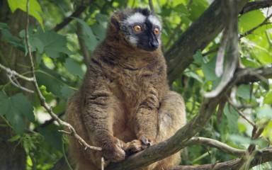Yellow-eyed lemur sitting in tree. It has luxuriant fur.
