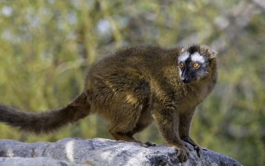 Yellowish monkey-like creature with a long tail and a black-and-white face