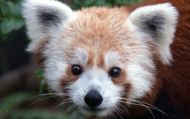 Red panda close-up of face