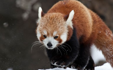 A red panda running in the snow