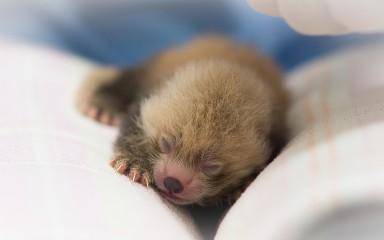 A newborn red panda