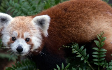 A red panda surrounded by greenery