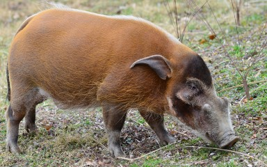small piglike animal with reddish fur, blackish face, long snout and short legs