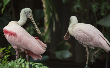 Two spoonbills: both are pink with long spatulate bills