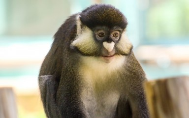 Grayish-brown schmidt's red-tailed monkey