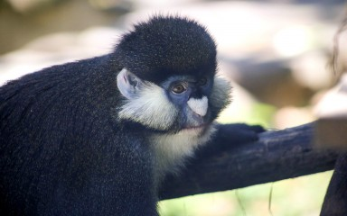 Grayish-brown schmidt's red-tailed monkey with its hand on a branch