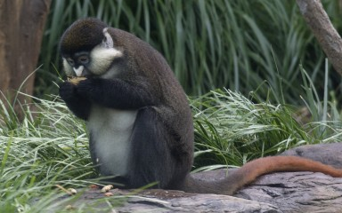 Grayish-brown schmidt's red-tailed monkey eating in the grass