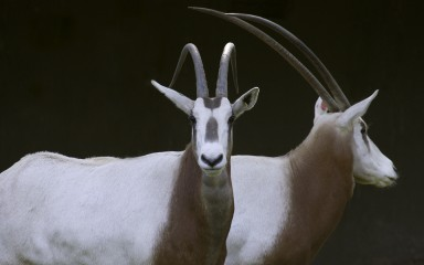 Two large white-bodied, brown-necked animals with long, curved horns