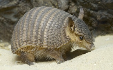 Armadillo walking across the sand