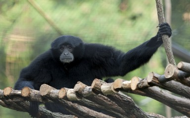 Black furry ape with long arms on a rope ladder
