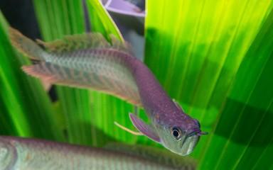 silver, wavy fish