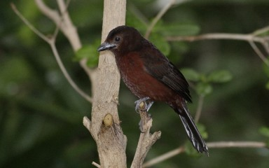 small brown songbird in tree