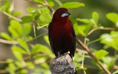 small maroon songbird with silver beak