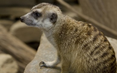 Brown and yellow furred medium-sized mammal with a doglike face