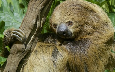 Sloth clinging to a branch
