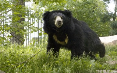 Large black bear with white 'V' on chest walking through grass
