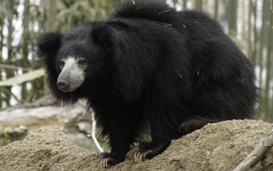 Bear perched on rock. Its long gray snout, bushy ears, and long blackish fur are evident